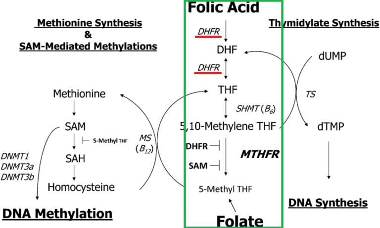 dhfr, mthfr, methylfolate, methylation cycle
