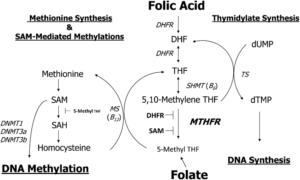 methylation doctor, mthfr, folic acid, folate, autism