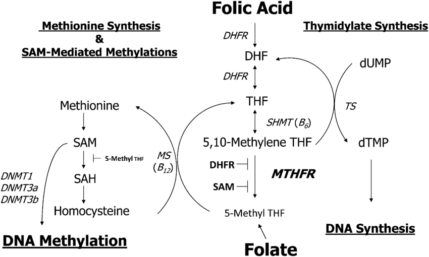 methylation doctor, mthfr, folic acid, folate, autism